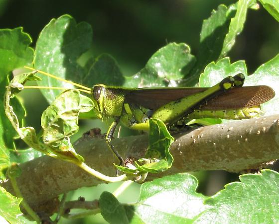 grasshopper sp - Schistocerca - male
