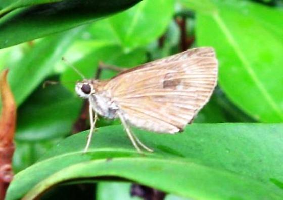 South Florida skipper - Cymaenes tripunctus