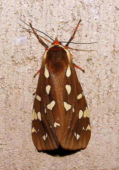 St. Lawrence Tiger Moth - Arctia parthenos