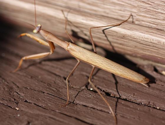 Praying Mantis - Mantis religiosa - male