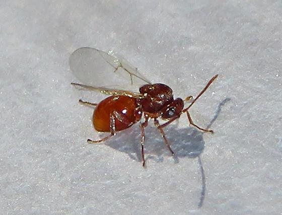 Cynipid oak gall wasp, Disholcaspis quercusvirens