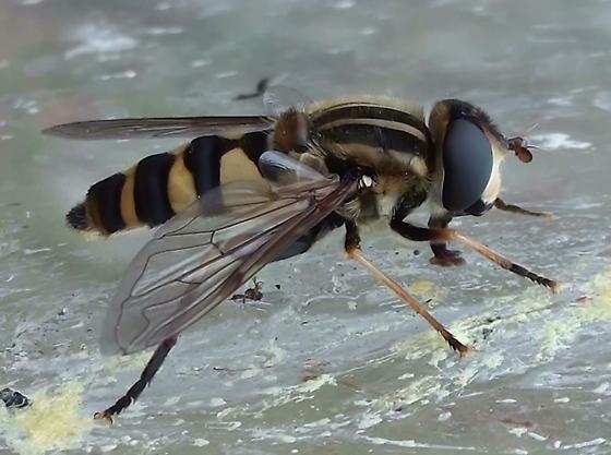 Syrphidae: Helophilus fasciatus? - Helophilus