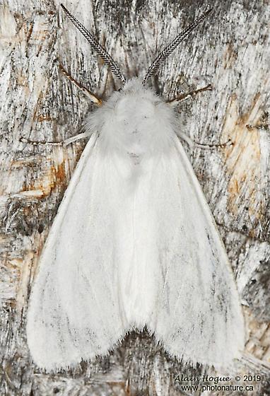 Silosoma - Hyphantria cunea