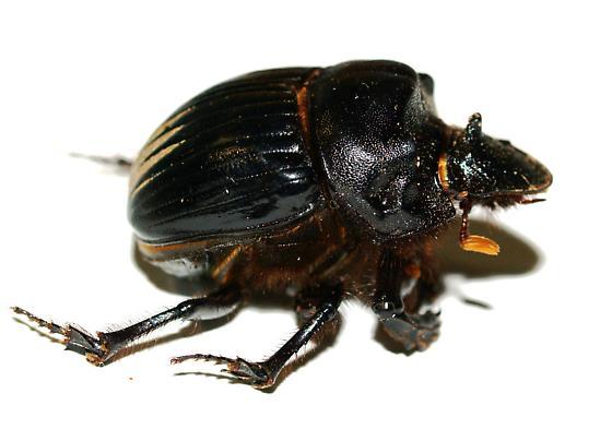 Dichotomius colonius - Dichotomius colonicus