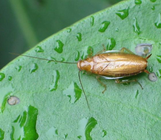 Wood Cockroach - Chorisoneura texensis