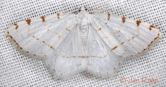 Lesser Maple Spanworm Moth - Macaria pustularia - female