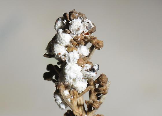 Sagebrush Mealybug, Amonostherium lichtensioides, on California Sagebrush  (Artemisia californica) - Amonostherium lichtensioides