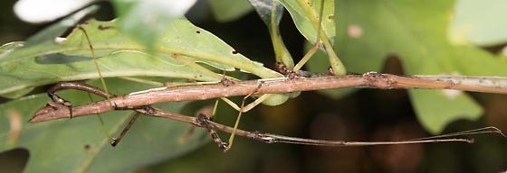 Walkingsticks for ID - Diapheromera femorata - male - female