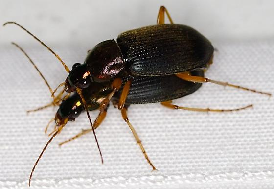 Unknown Mating Beetles - Chlaenius tricolor - male - female