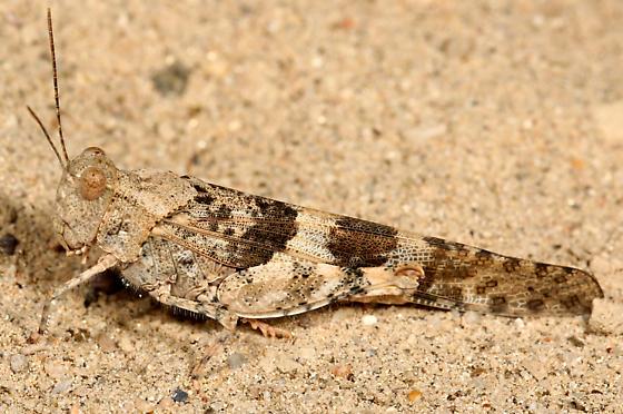 grasshopper - Trimerotropis pallidipennis