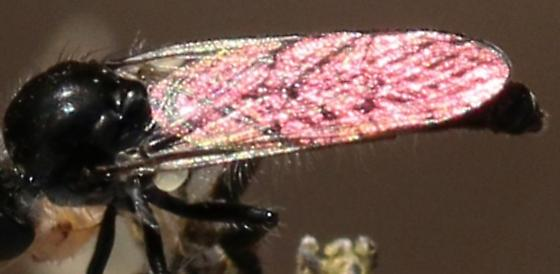 flying insect, pink wings - Holopogon