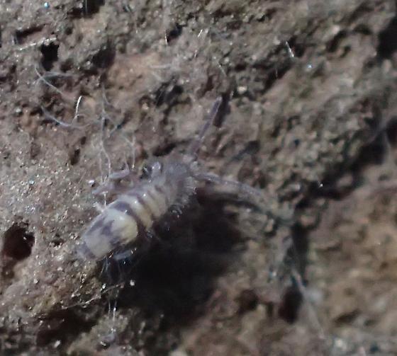 Chiricahua Springtail 1 - Homidia sauteri