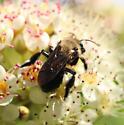 Diadasia rinconis? - Andrena