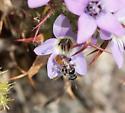 Perdita pelargoides - female