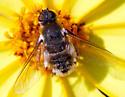 unidentified Bombyliidae - Villa
