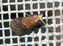 Broad-banded Eulogia Moth - Hodges#5999 - Eulogia ochrifrontella