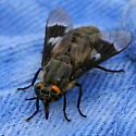 Deer Fly - Chrysops mitis - female
