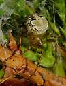 Araneus pegnia? - Araneus pegnia - female