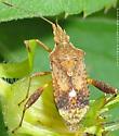 Bug - Harmostes serratus