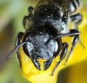 Megachile angelarum - female