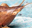 Pyrgocorypha uncinata - male