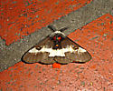 Unknown Moth see in New Orleans - Hemileuca maia