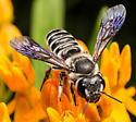 Megachile - Megachile frugalis