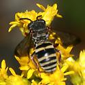 Cuckoo bee - Epeolus scutellaris - male