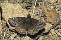 Afranius Duskywing - Erynnis afranius - female