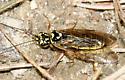 fancy sawfly - Acantholyda