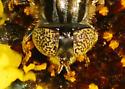 Large, dark syrphid - Eristalinus aeneus - female