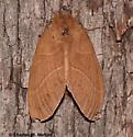 Dicogaster coronada - female