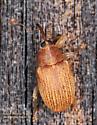 Curculionidae - Lignyodes helvolus