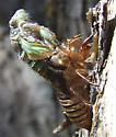 Cicada emerging - Cicadidae - Platypedia