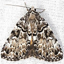 Little Lined Underwing Moth - Hodges #8878.1 - Allotria elonympha