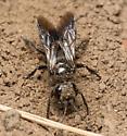Wasp - Larropsis