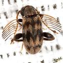 Ant-like Leaf Beetle - Emelinus melsheimeri - male