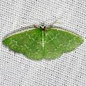 Southern Emerald Moth - Synchlora frondaria