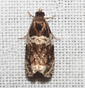 Olethreutinae - Olethreutes fasciatana