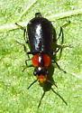 Soft-winged flower beetle - Nodopus