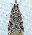 Eudonia heterosalis  - Eudonia heterosalis