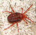 Red Mite in Red Wriggler worm culture - Balaustium