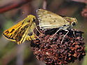 Fiery Skippers, mating pair 2 - Hylephila phyleus - male - female