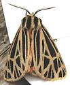 Moth - Apantesis virgo - male