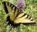 Swallowtail - Papilio glaucus - male