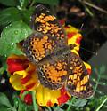 What butterfly please? - Phyciodes tharos