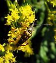 Banded Longhorn? - Typocerus velutinus