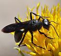 Very hairy, black wasp