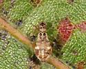 Psocid - Teliapsocus conterminus - female