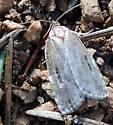 Agonopterix - Choristoneura